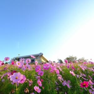 大阪のサプライズプロポーズ 鷲ヶ峰コスモスパーク