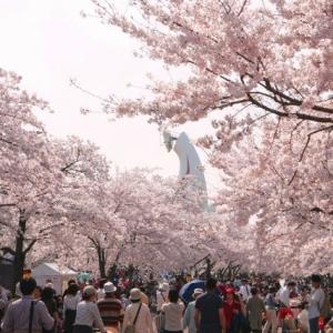 大阪のサプライズプロポーズ 万博記念公園、桜時期